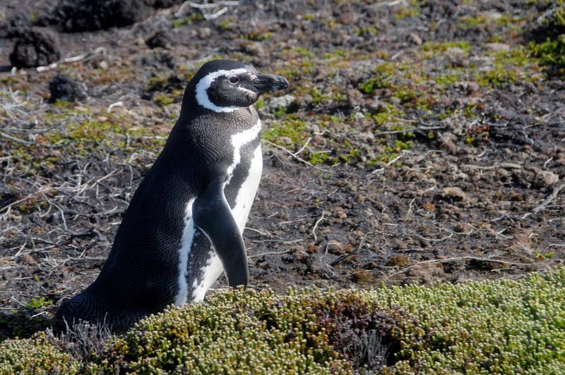 Magellanic Penguin<br /> East Falkland Island