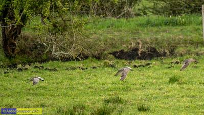14/05/21 - Curlews on Ardee Bog