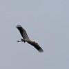 Maguari Stork 2
