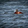 Lake Duck