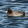 Red Fronted Coot