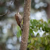 Narrow-billed Woodcreeper 2