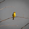 Saffron Yellow Finch