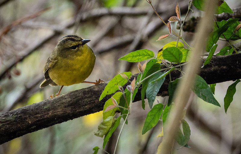 Two-banded Warbler