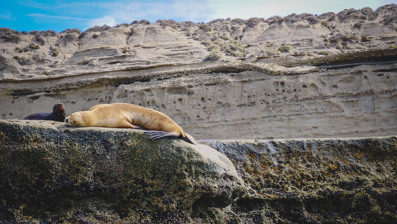 Sea lion lounging in Punta Piramide