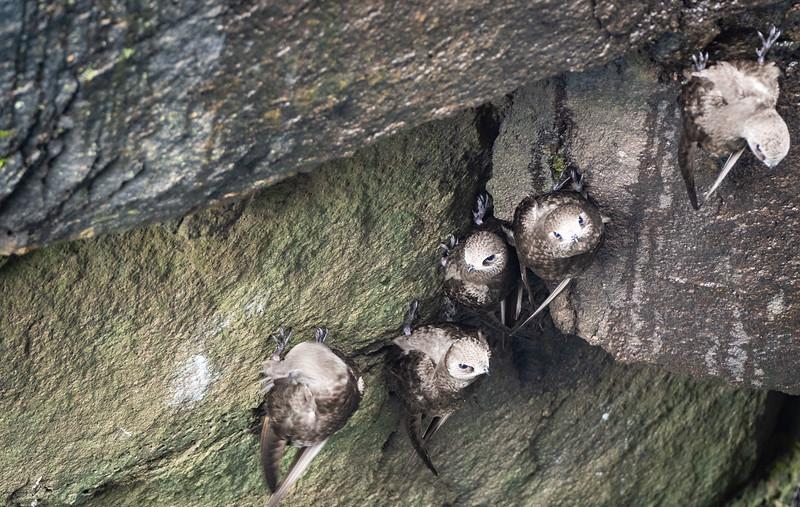 Great Dusky Swifts
