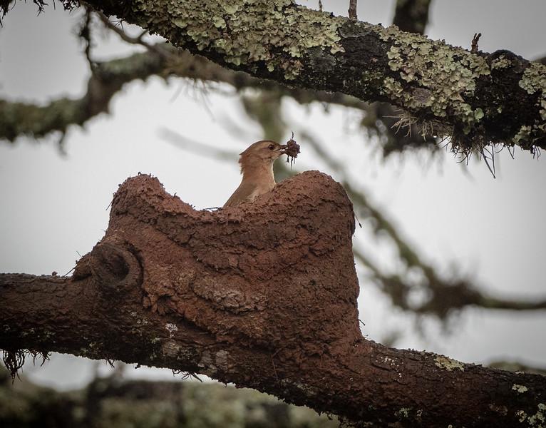 Rufous Hornero building nest