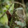 Plain-winged Woodcreeper
