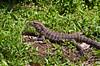 An iguana in the grass near the Iguazu Falls, Argentina, South America.