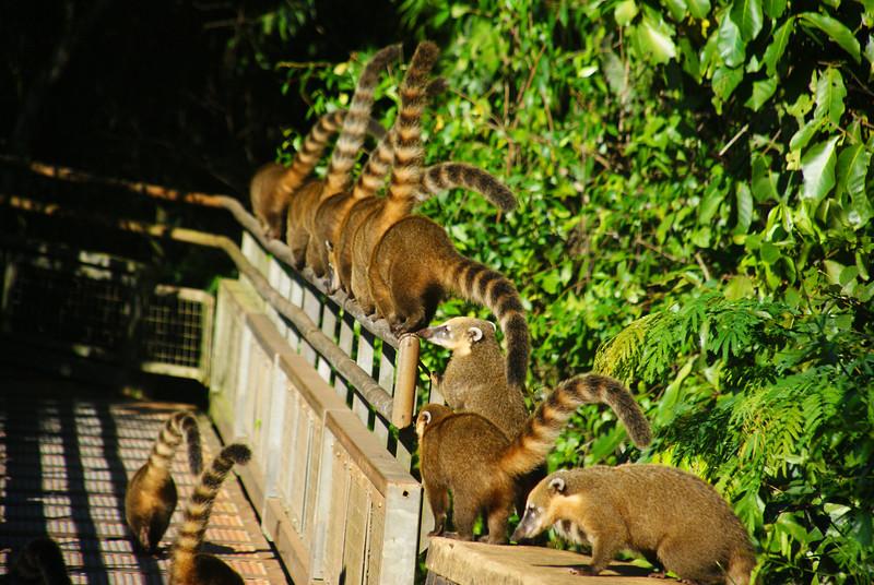 "A group of South American coatis march along the pedestrian railing at Iguazu Falls, Argentina.  This is a travel photo from Iguazu Falls, Argentina. <a href=""http://nomadicsamuel.com"">http://nomadicsamuel.com</a>"