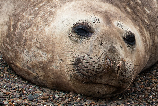 Photo of pretty elephant seal