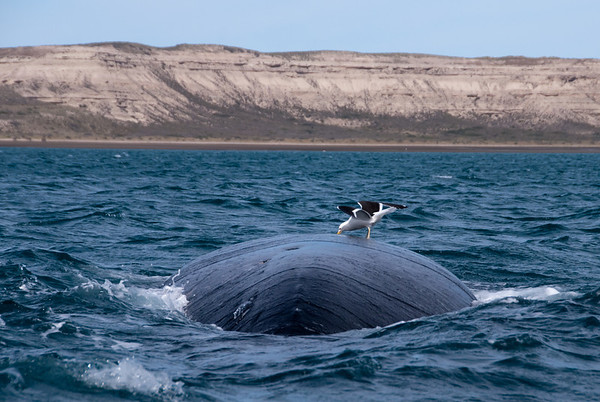 Photo of seagull on whale