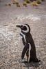 The Magellanic penguin (Spheniscus magellanicus) in Punta Tombo, Argentina, South America.