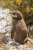Magellanic penguin chick  (Spheniscus magellanicus) in Punta Tombo, Argentina, South America.
