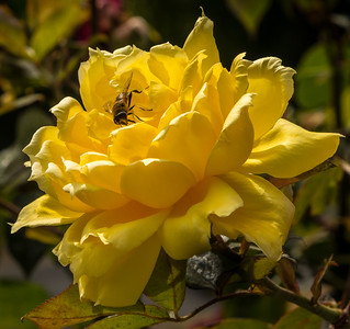 The Bee and the Rose