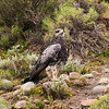 Black Chested Buzzard Eagle