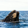 Southern Right Whale Head