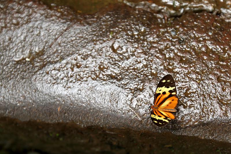 Orange Mapwing, Iguaçu, Argentina