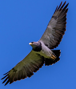 Where there are dove on the ground, eagles search for an easy meal steal