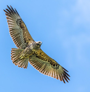 This guy ruled the sky and fought off other hungry raptors