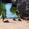 Family of ducks at Freestone Park, Gilbert, AZ