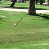 Hawk at Reid Park Zoo, Tucson, AZ Sept 2008