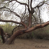Tree @Riparian<br /> Wouldn't you just love to climb this???