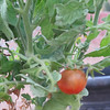 I planted my first tomato plant in late September, after the heat, and now I have one small red tomato!