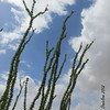 Ocotillo reaching for the sky