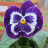Purple pansy in my yard