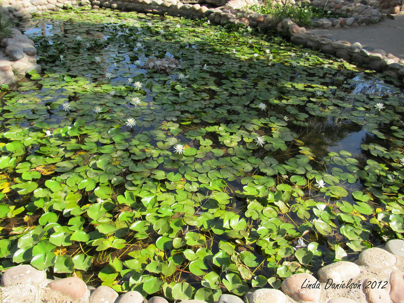 Water Lillies on pond<br /> Buckhorn Motel, Mesa AZ
