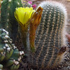 "This cactus gets funny ""growths"" that turn into flowers!  Cactus are fascinating :)"