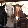 Horses at a ranch across the road from Superstition Mountain