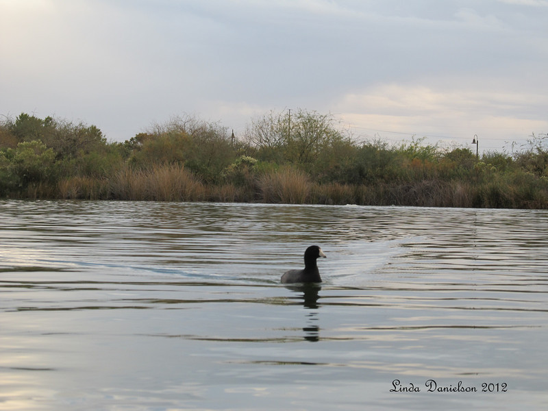 Duck at Riparian Preserve, Gilbert AZ