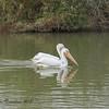 American White Pelicans @Riparian