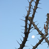 The moon still shone in the early morning sky, here it is, captured between tall ocotillo stalks.