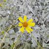 Desert flower @Riparian
