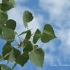 Cottonwood leaves whisper as they dance on the breeze