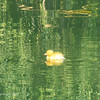 Baby duck on the pond at Red Mountain Park