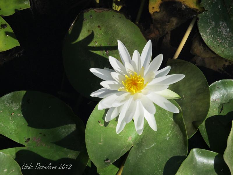 Water Lily.<br /> Buckhorn Motel, Mesa AZ