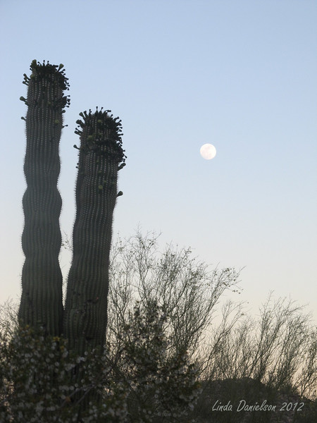 Saguaro cactus about to bloom, dusk in the White Tank Mountain Regional Park, its a super moon night, a gorgeous night for a Moonlight Hike!