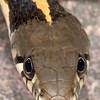Black-necked Gartersnake, Thamnophis cyrtopsis