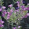 Texas Sage in bloom