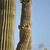 Saguaro and Woodpecker