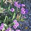 Lavender Lantana