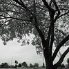 Tree, B&W