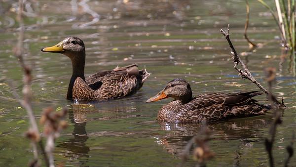 Mexican Ducks