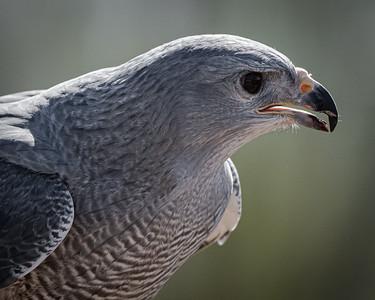 Grey Hawk close up