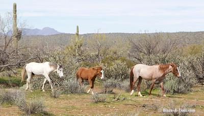 Wild Horses along Salt River Recreation Area