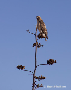 A hawk perched on a yucca plant near Sonoita, Arizona